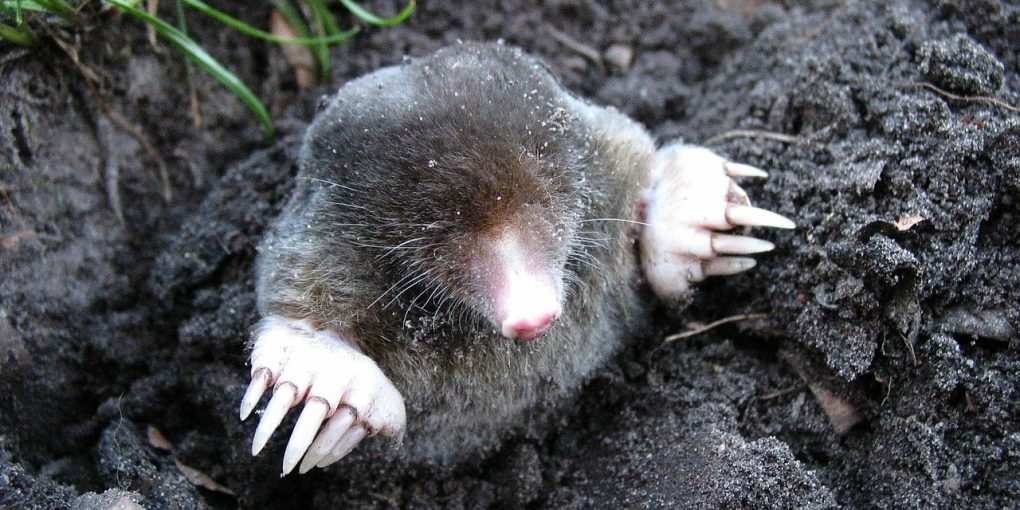 How To Get Rid Of Moles In The Garden Humanely Predator Guard