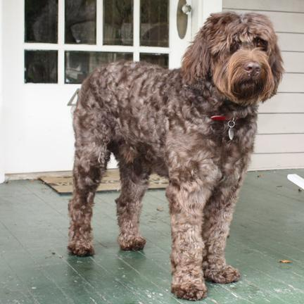 Sires Southern Cross Australian Labradoodles The
