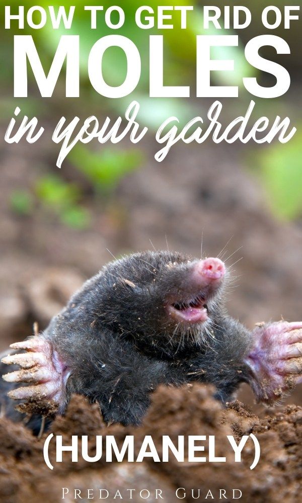 How-to-get-rid-of-Moles-in-the-garden-humanely