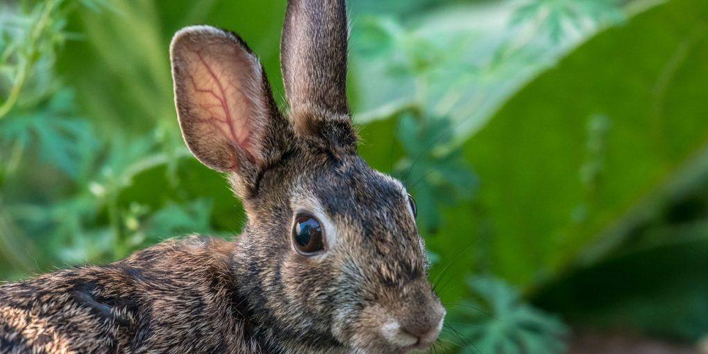 Wild-Rabbit-in-Garden-1020x510