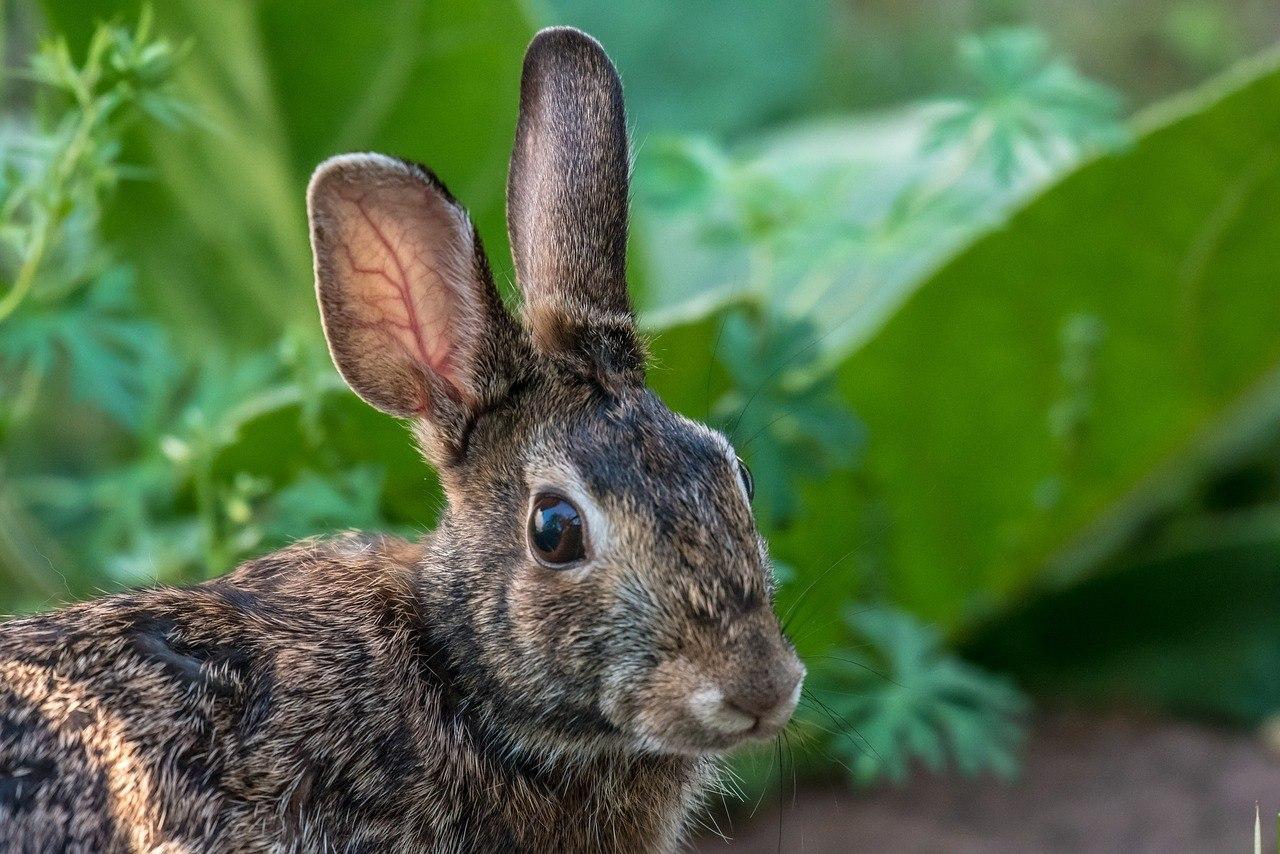 Wild-Rabbit-in-Garden