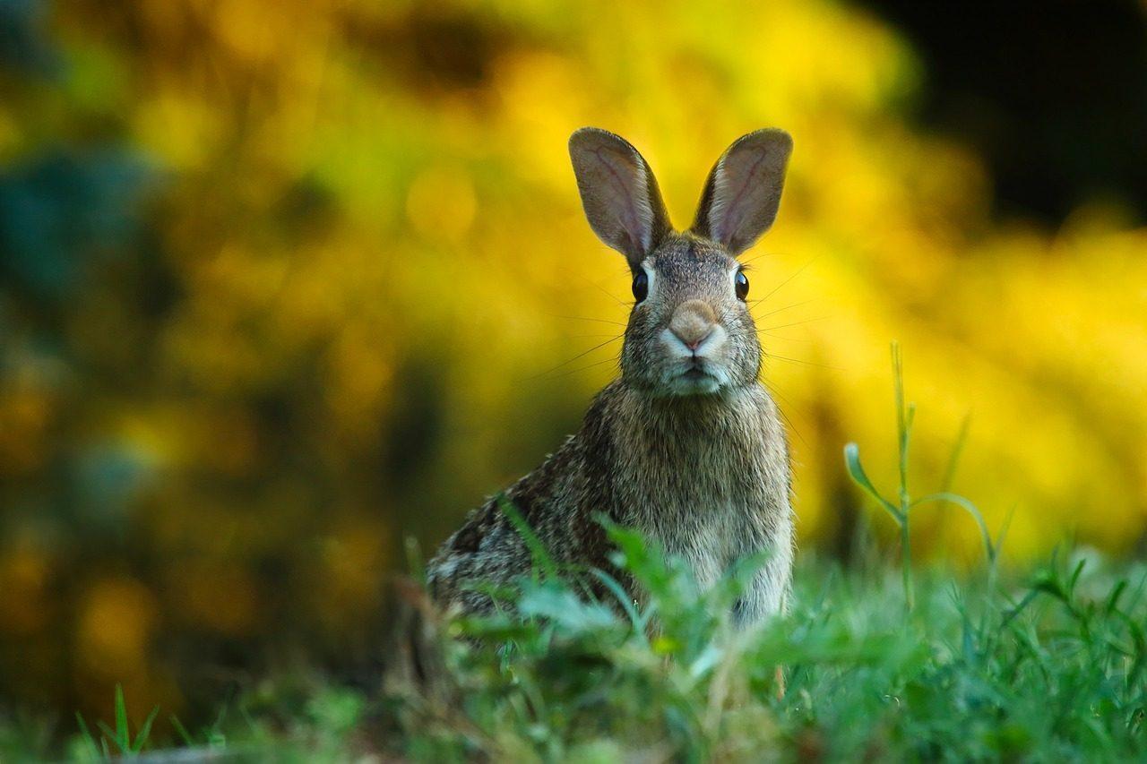Rabbit-in-Yard