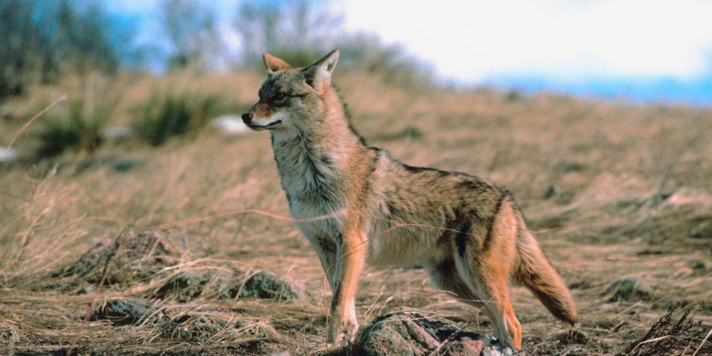 Wild-Coyote-1020x510