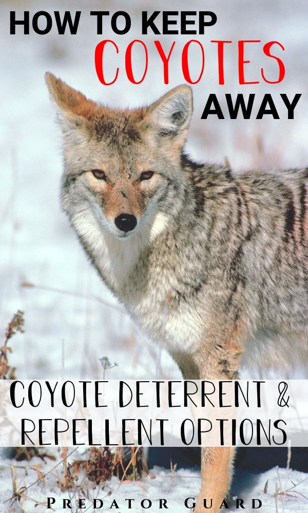 How-To-Keep-Coyotes-Away