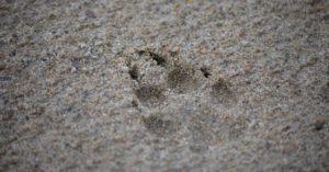 Coyote-Tracks