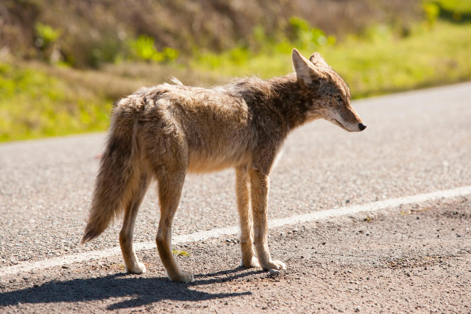 Wild-Coyote-1