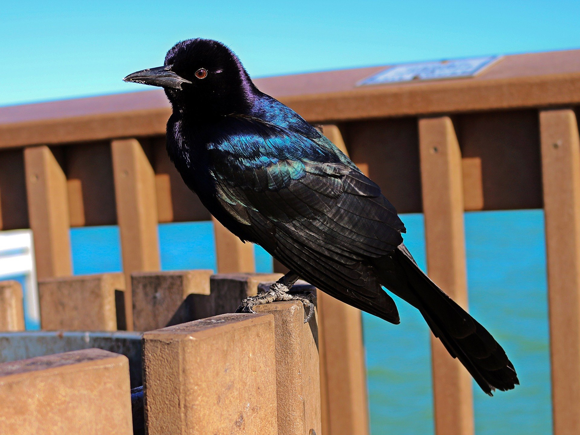 Grackle-Bird-on-Deck (1)