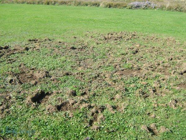 Skunks-Digging-Holes-In-Yard