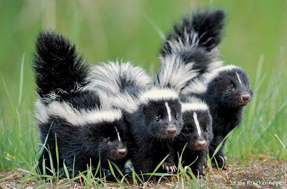 Skunk-Kits