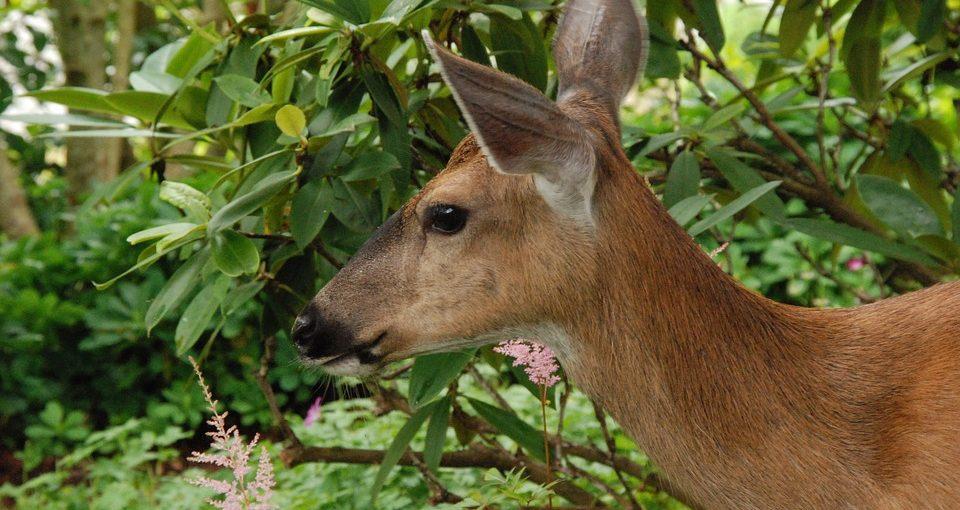 Deer-In-Garden-960x510