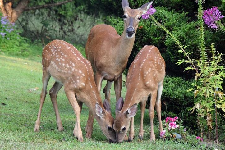 Deer-Eating-Garden