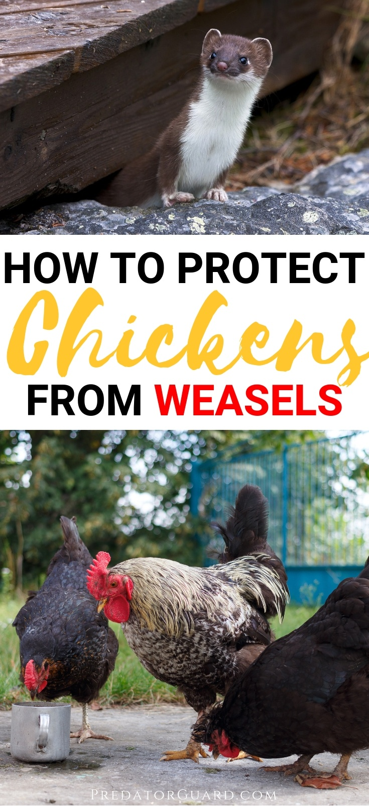 How-To-Protect-Chickens-From-Weasels