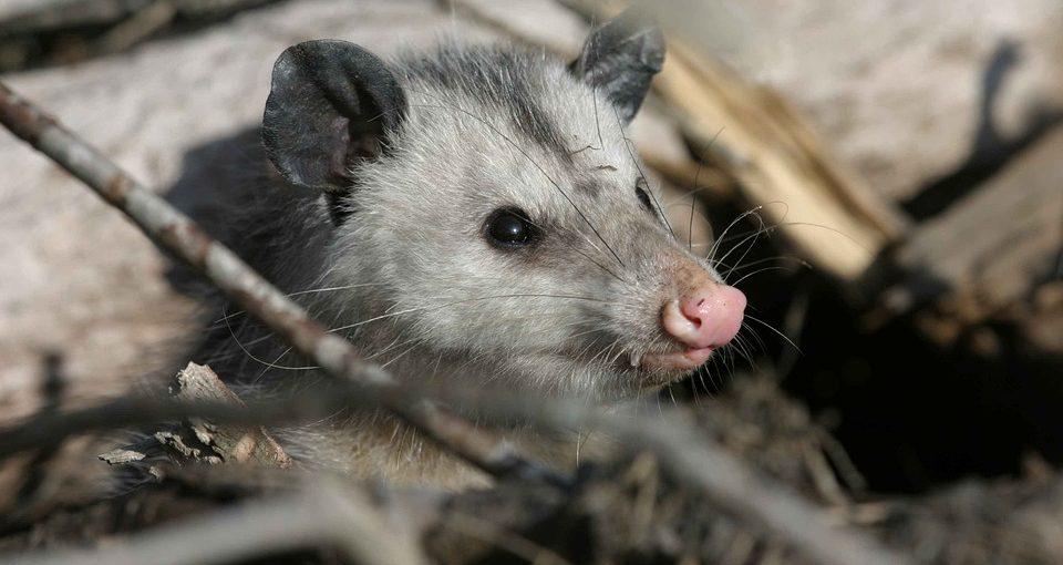 Opossum-960x510