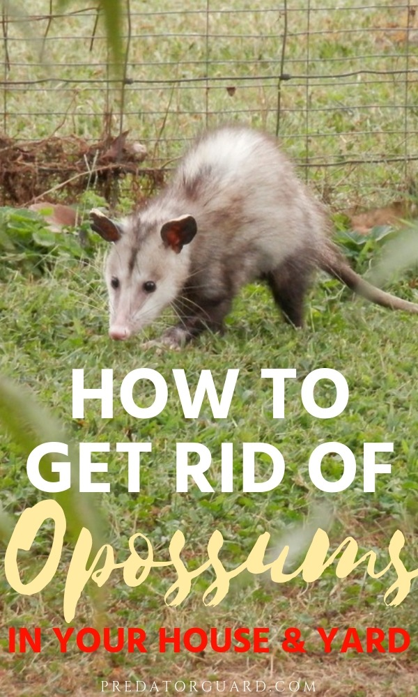 How-To-Get-Rid-of-Opossums-In-Your-House-and-Yard