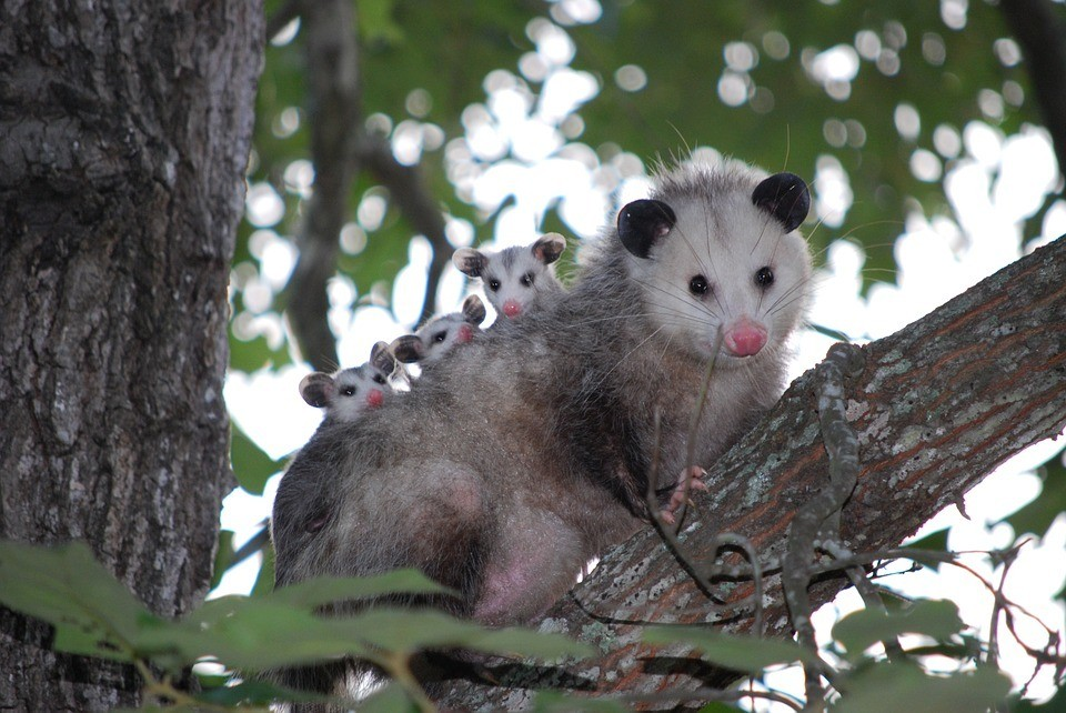 Opossum-With-Babies
