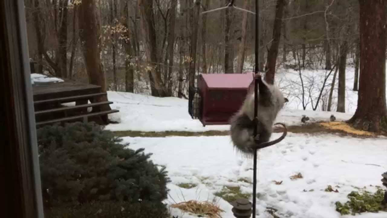 Opossum-Getting-Bird-Feeder
