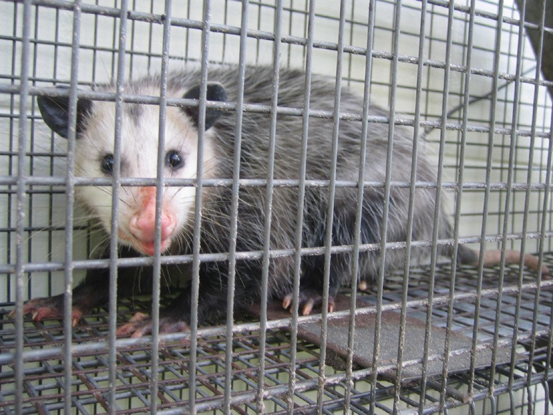 Opossum-In-Catch-and-Release-Trap