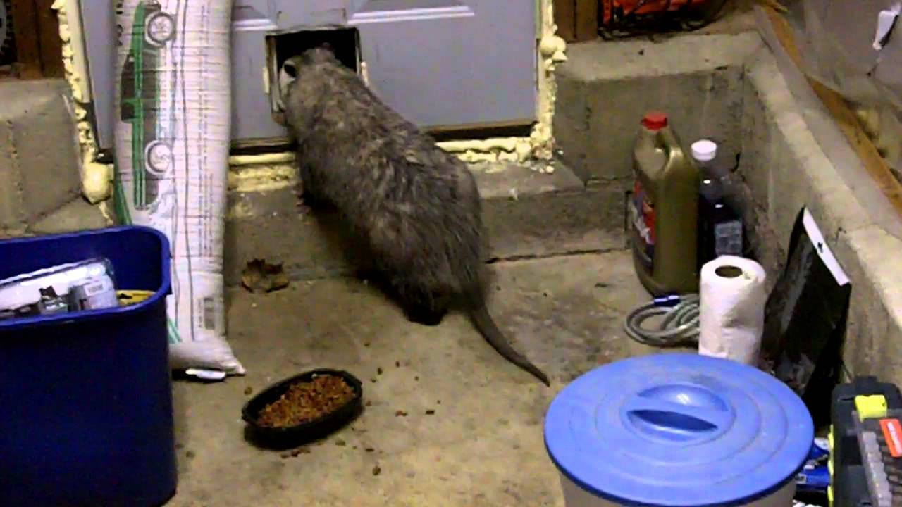 Opossum-Sneaking-Through-Pet-Door