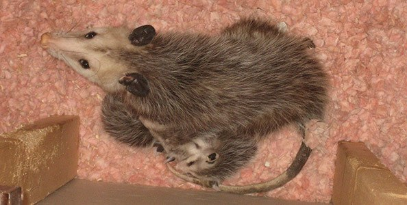 Animal-Control-Opossum
