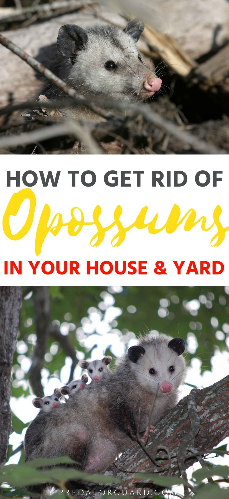 How-To-Get-Rid-of-Opossums-In-Your-House-and-Yard-Predator-Guard