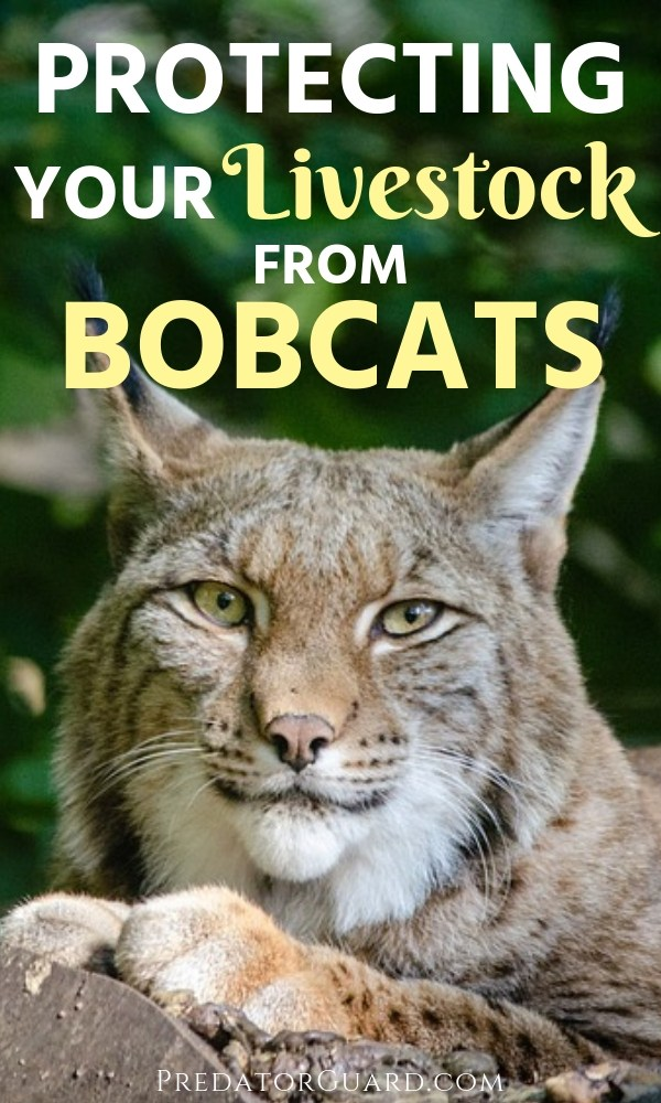 Protecting-Your-Livestock-From-Bobcats