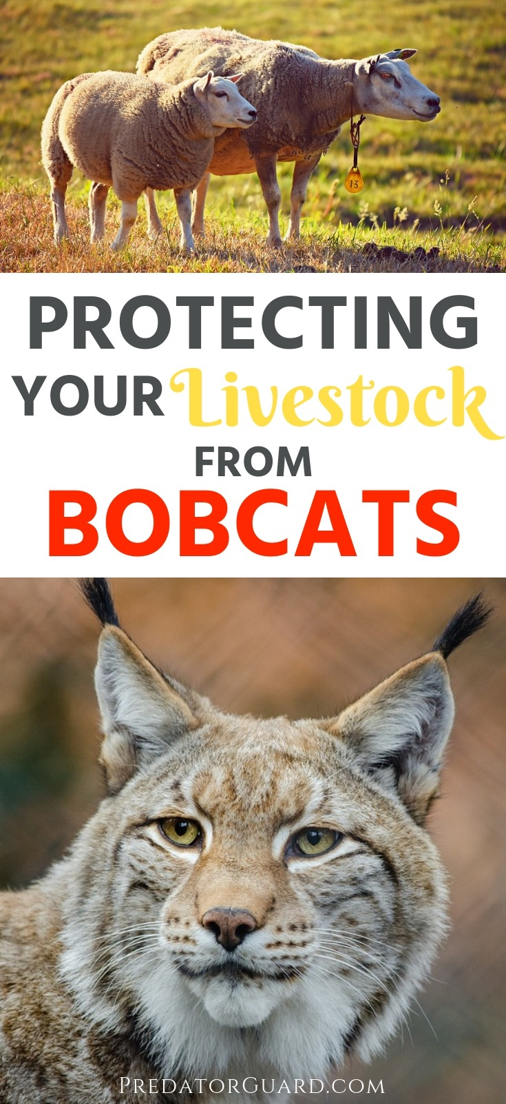 Protecting-Your-Livestock-From-Bobcats-Predator-Guard