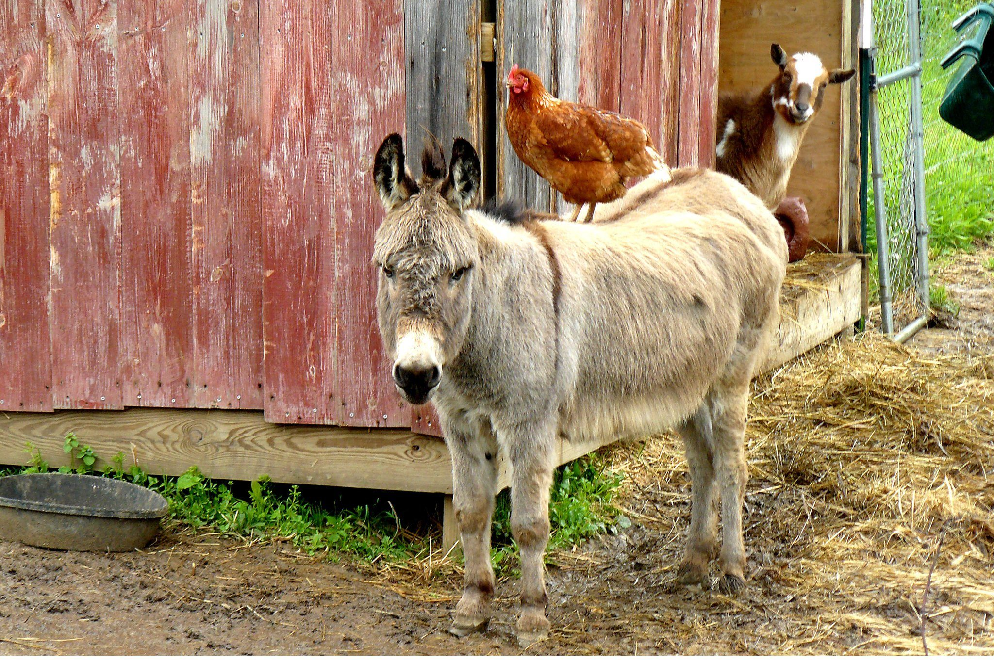 Guard-Donkey-For-Chickens