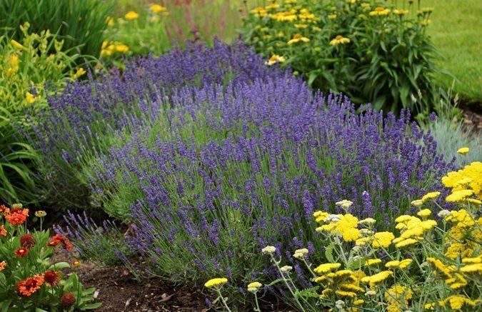 Lavender-in-Garden