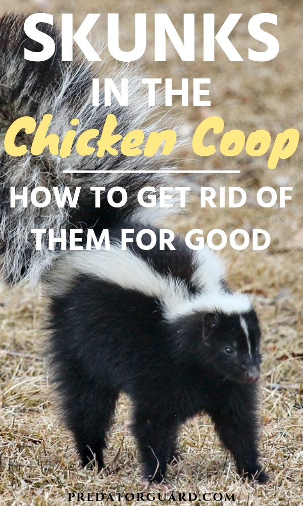 Skunks-In-The-Chicken-Coop-How-To-Get-Rid-of-Them-For-Good-Predator-Guard