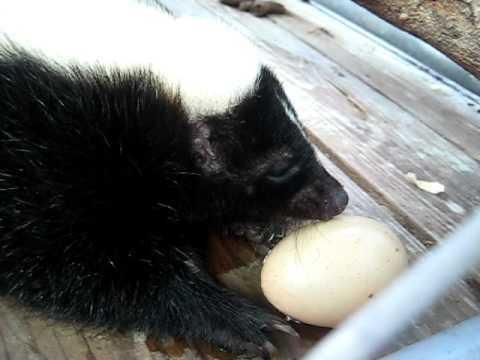 Skunk-Eating-Chicken-Egg