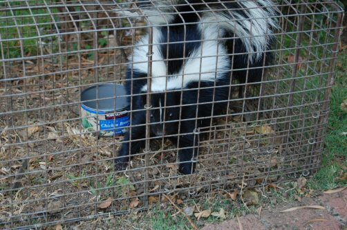 Catch-and-Release-Skunk