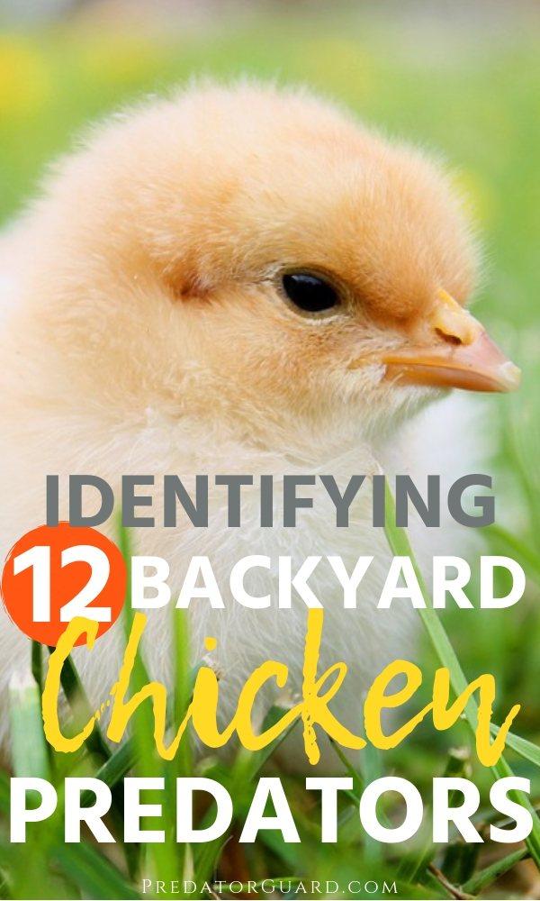 Identifying-12-Backyard-Chicken-Predators