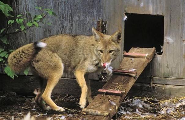 Chicken-Predator-Coyote