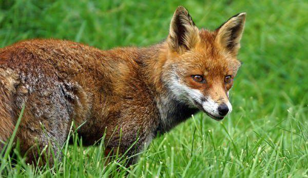 Chicken-Predator-Fox