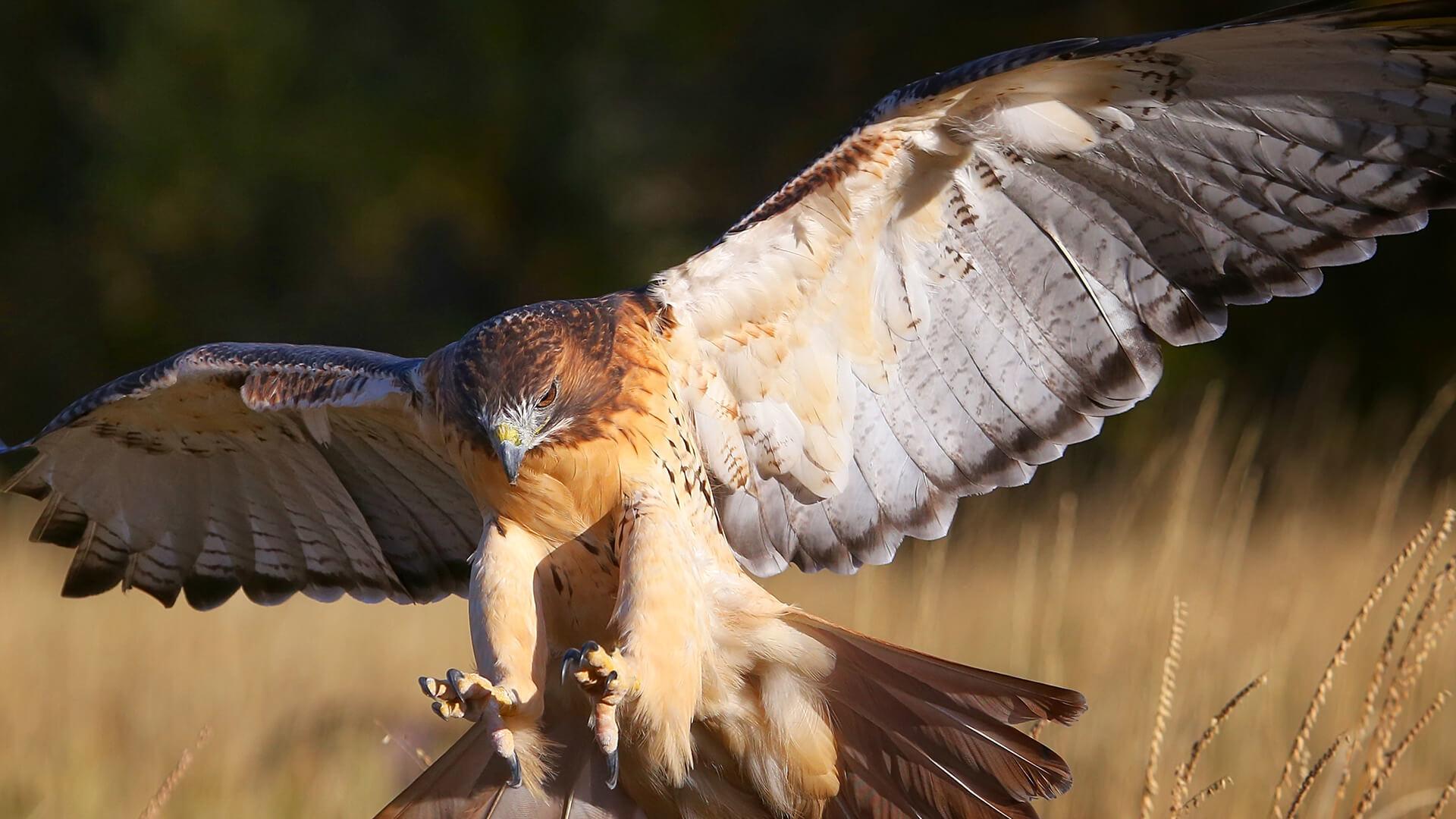 Chicken-Predator-Hawk