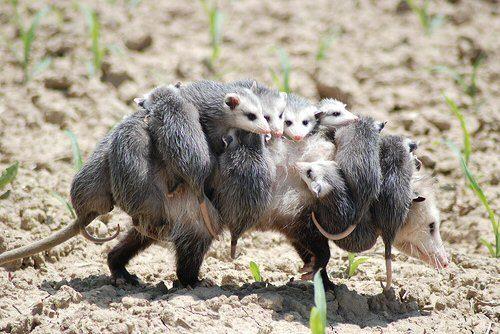 Chicken-Predator-Opossum