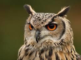 Chicken-Predator-Owl