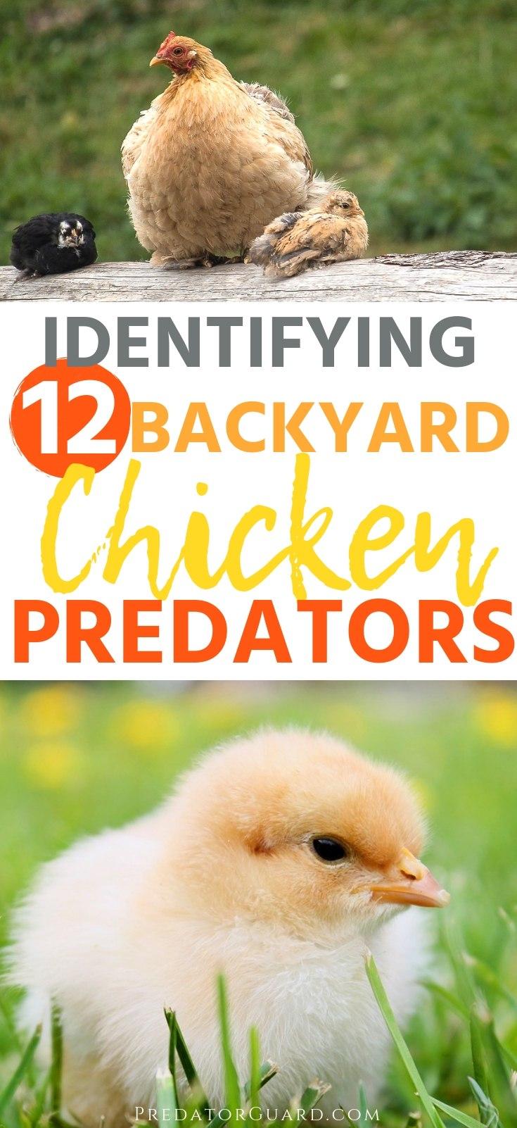 Identifying-12-Backyard-Chicken-Predators-Predator-Guard