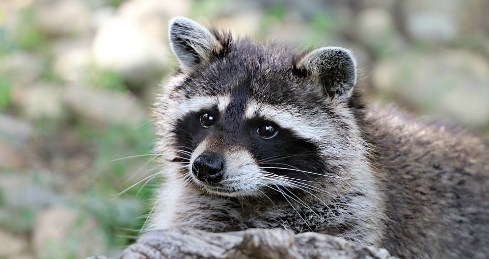 How-To-Get-Rid-of-Raccoons-Raccoon-Removal-960x510 (1)