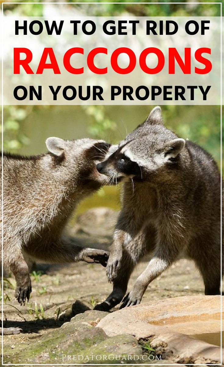 How-To-Get-Rid-of-Raccoons-On-Your-Property-Humanely