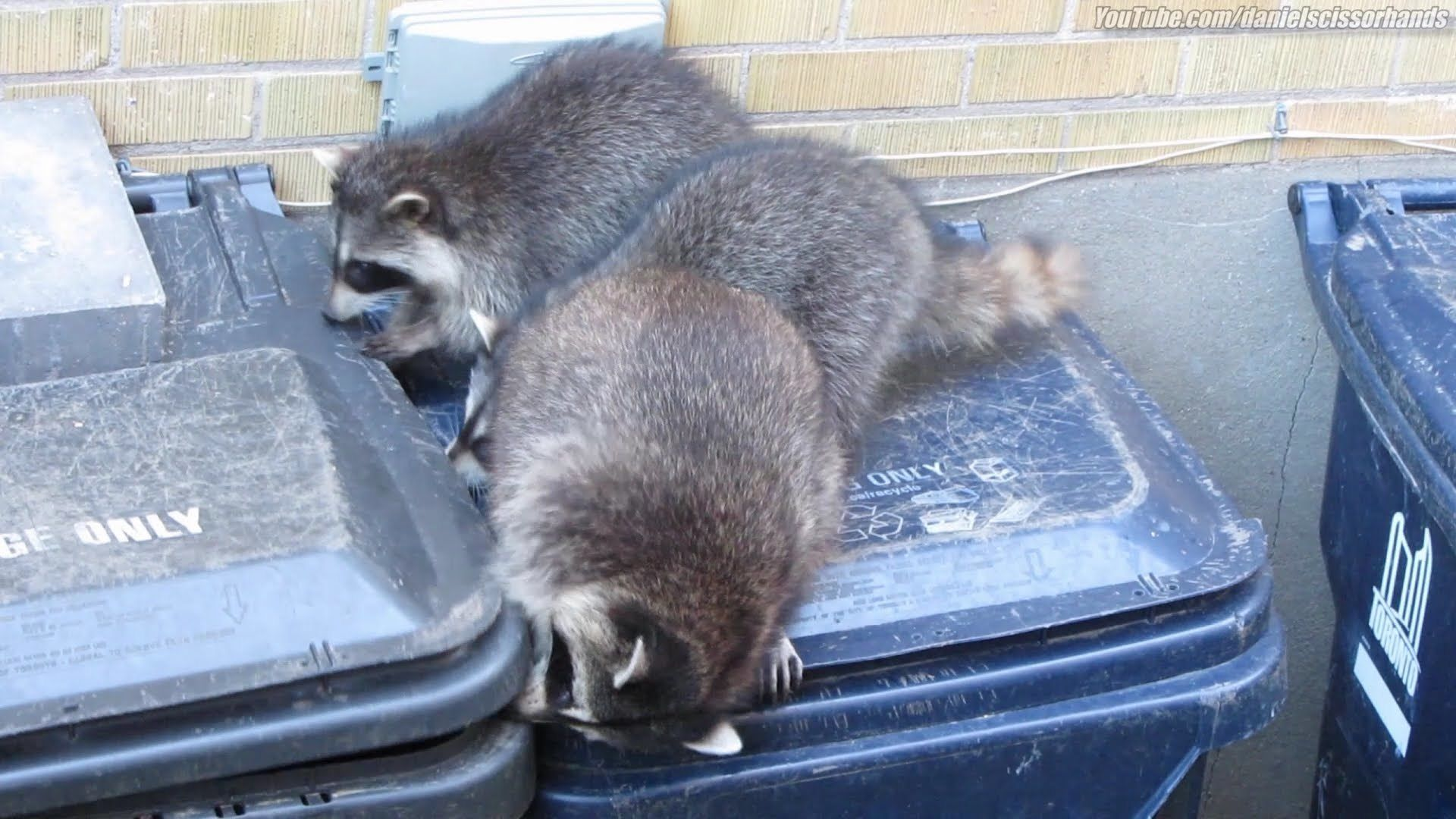 How-To-Get-Rid-of-Raccoons-on-Your-Property-Safely-and-Humanely-Raccoons-In-Trash