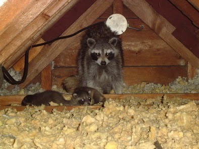 How-To-Get-Rid-of-Raccoons-on-Your-Property-Safely-and-Humanely-Raccoon-In-Attic