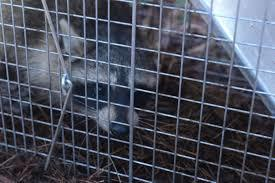 How-To-Get-Rid-of-Raccoons-on-Your-Property-Safely-and-Humanely-Traps