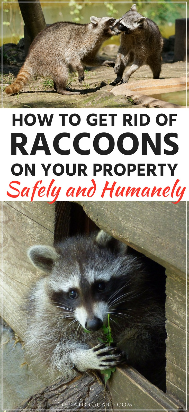 How-To-Get-Rid-of-Raccoons-on-Your-Property-Safely-and-Humanely