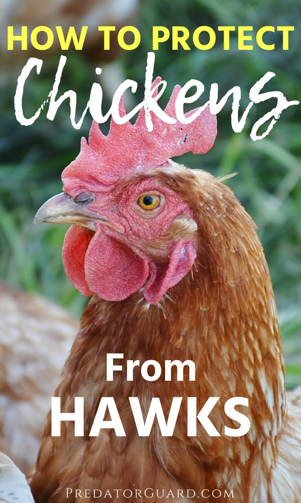 How-To-Protect-Chickens-From-Hawks