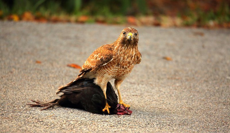 How-To-Protect-Chickens-From-Hawks-Predator-Guard-Blog