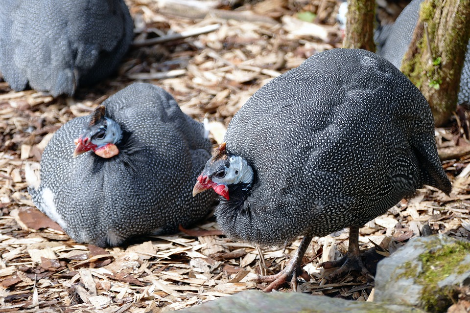 How-To-Protect-Chickens-From-Hawks-Guinea-Fowl