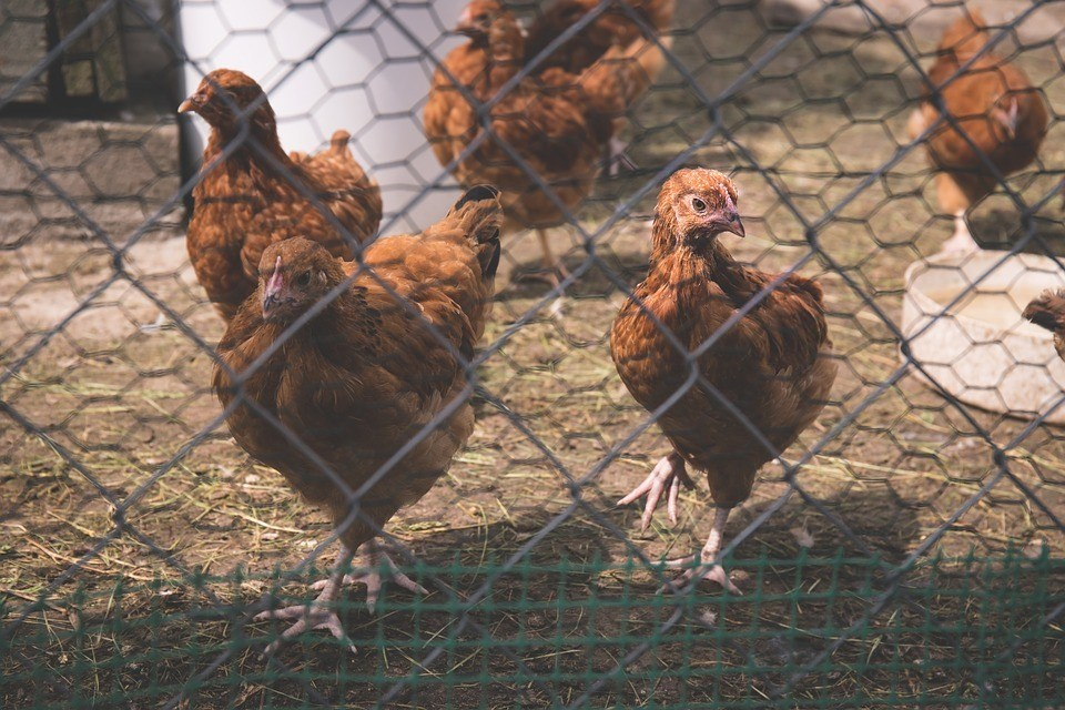 How-To-Protect-Chickens-From-Hawks-Enclosed-Run