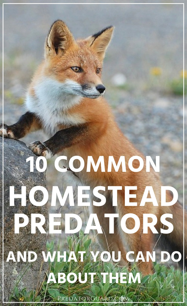 10-Common-Homestead-Predators-And-What-You-Can-Do-About-Them