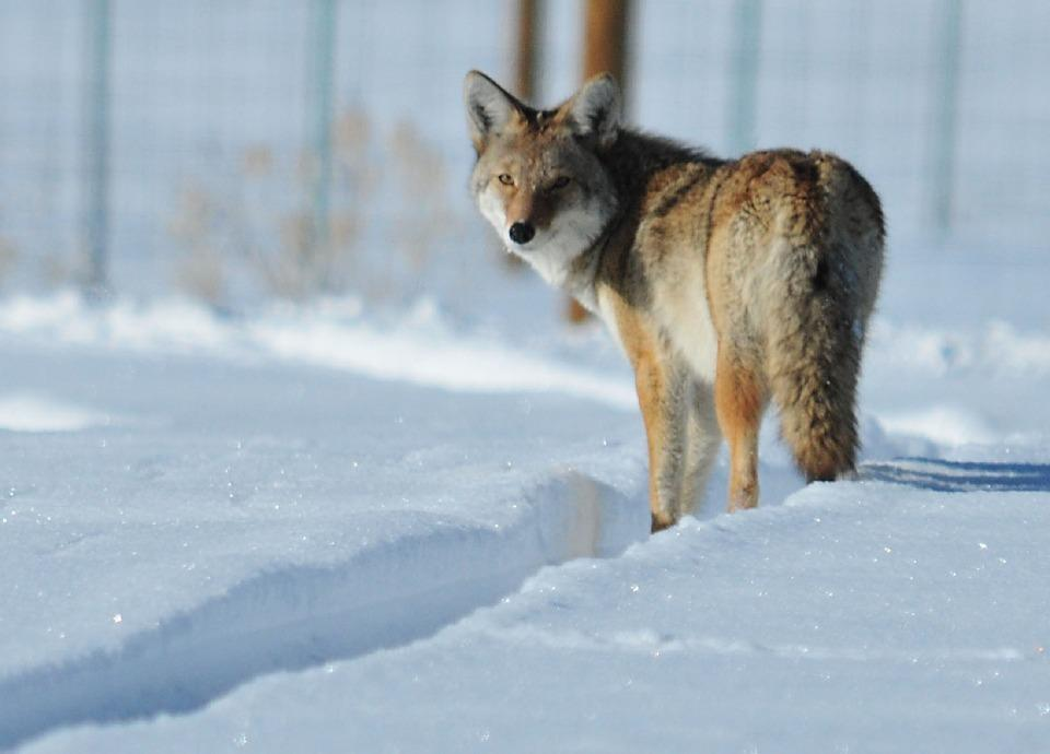 10-Common-Homestead-Predators-–-And-What-You-Can-Do-About-Them-Coyote (1)